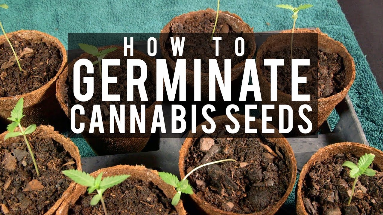 How to Grow Cannabis Ep 1 Germinating Seeds
