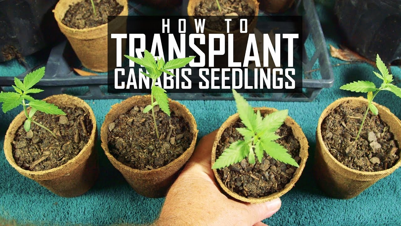 How To Grow Cannabis Ep 2 Transplanting Seedlings