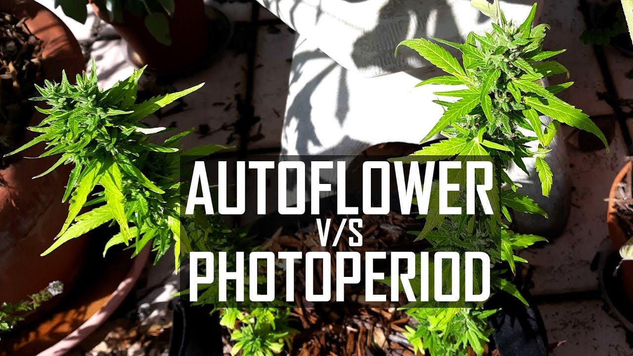 How to Grow Cannabis Ep 4 Autoflower Versus Photo-period Strains