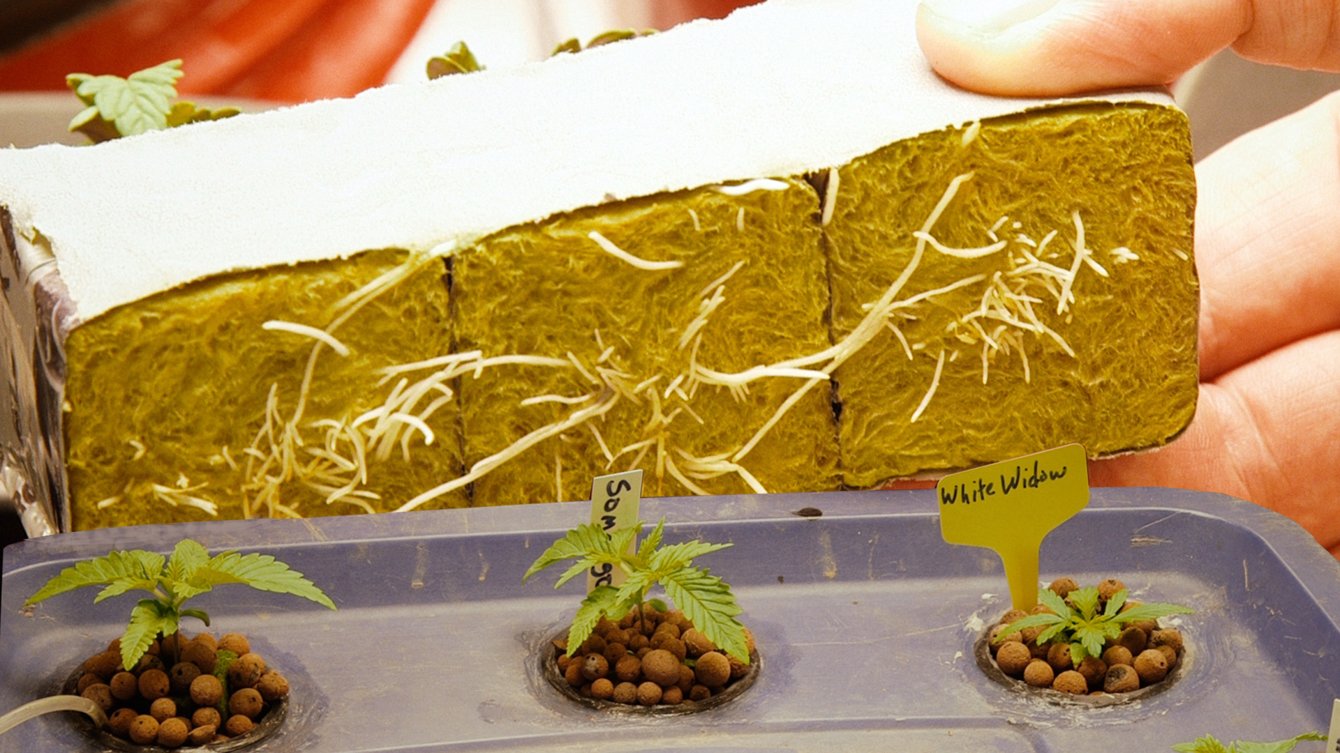germinate-cannabis-seeds-in-rockwool-cubes-cannabasics-115-thumbnail-1