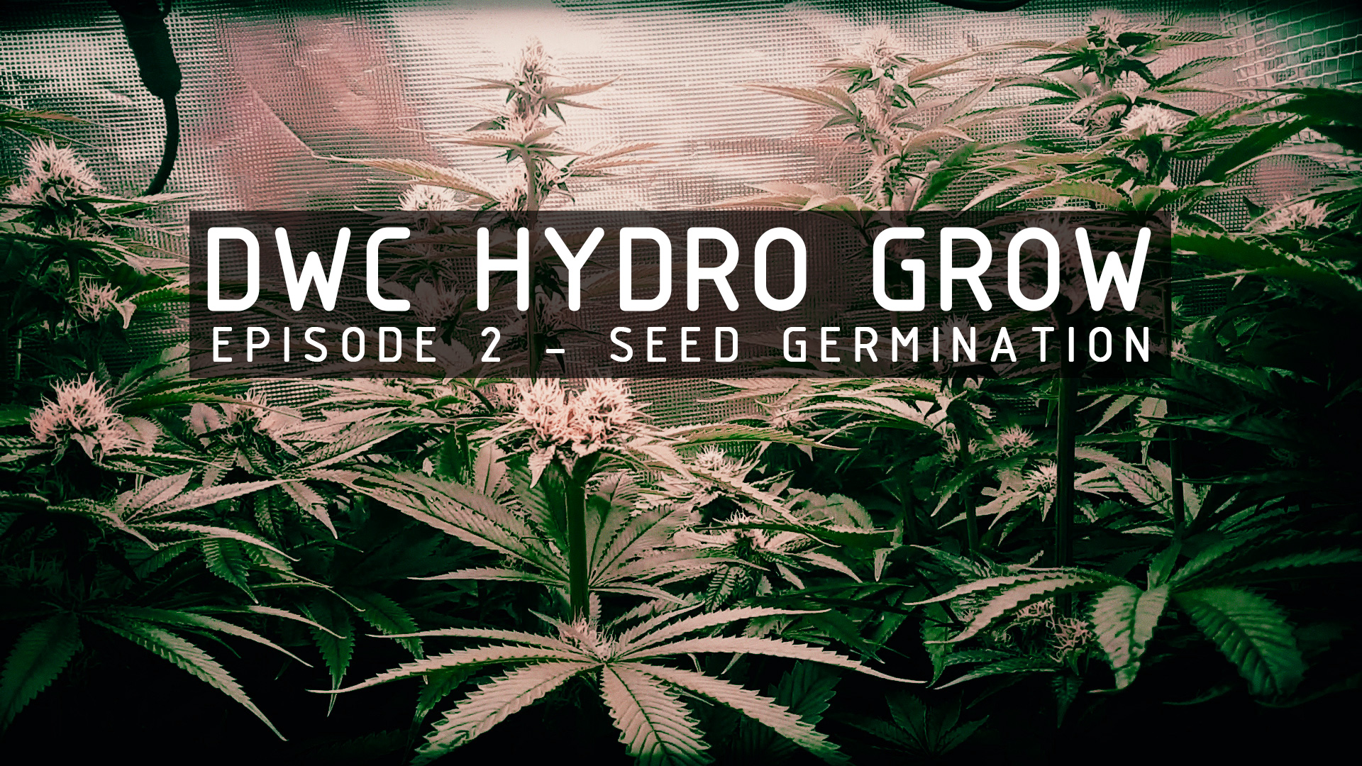 hydroponic-grow-series-thumbnail-ep-2-germination
